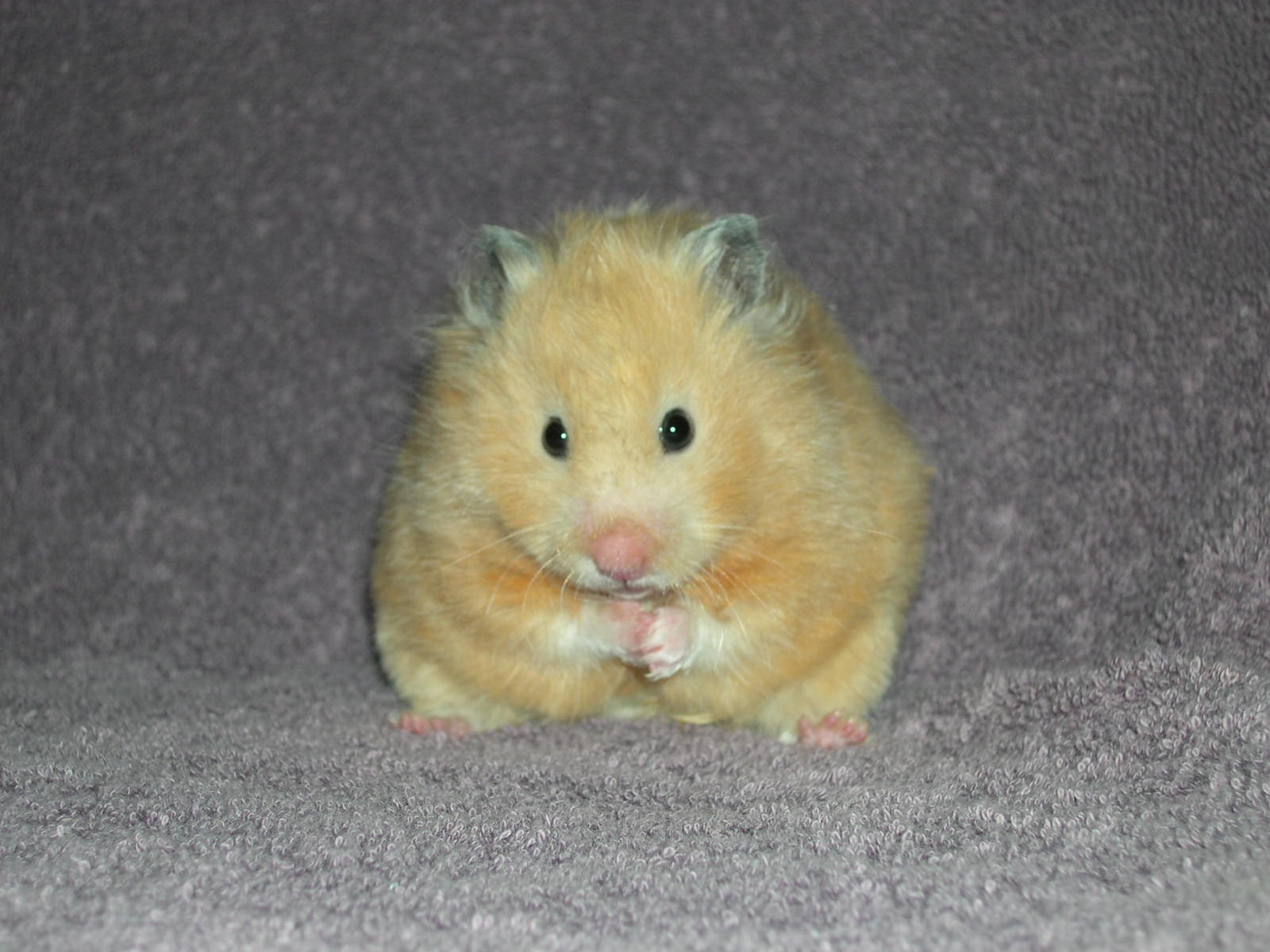 Hamsters - Small Angels Rescue, Inc